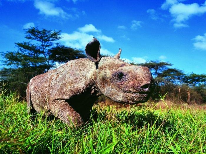 детеныш носорога, Кения.