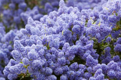 Ceonothus 'Yankee Point' Low-growing, 3 feet high x 8-15 foot spread