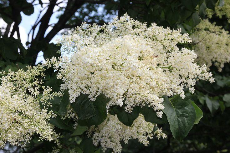 Japon Ağacı Leylak, Ağaç Çiçek, Ağaç, Çiçek, Beyaz