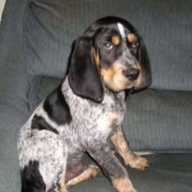 Walker Dog Puppies