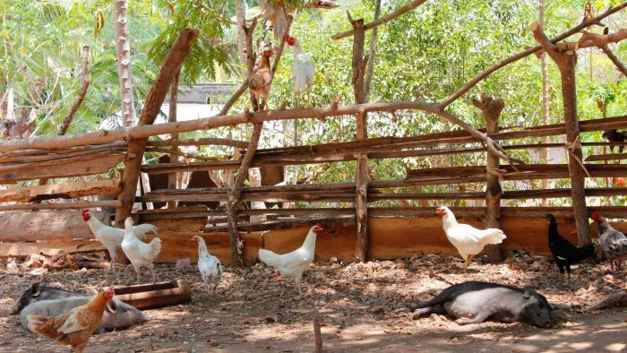 Australian researchers hope to improve human health by vaccinating chickens against disease in Timor-Leste.