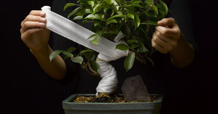 Cómo hacer un bonsái de una planta de jade. La planta de jade, nativa de Sudáfrica, se está convirtiendo en una de las favoritas para hacer bonsái. Es fácil de cultivar y puede mantenerse tanto en interiores como en exteriores. Su sistema radicular crece bien en recipientes poco profundos, lo que la convierte en una opción ideal para usarla como bonsái, o planta en miniatura. Darle forma a ...