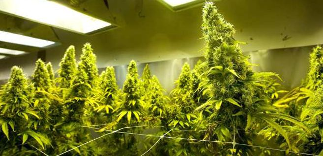 How Long Does It Take To Grow Cannabis Growing