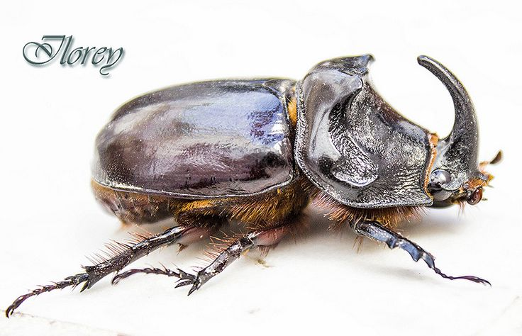 escarabajo R procesado