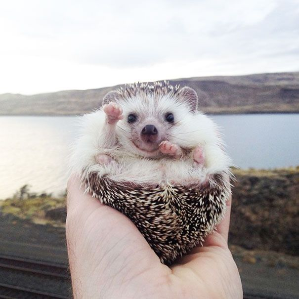 Biddy, The Traveling Hedgehog! Zomg sooo cute! This girl takes her hedgehog with her on vacation and takes pictures of him everywhere they go! <3