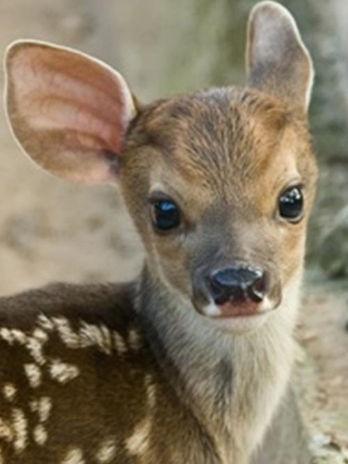 awwwBaby Deer, Fawns, Sweets, Baby Face, Beautiful, Ears, Baby Animal, Eye, Cutest Animal