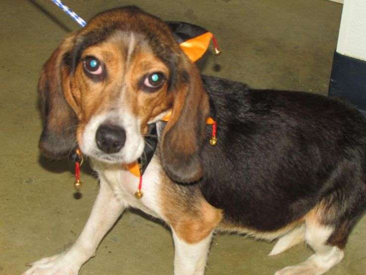 Fred is an adoptable Beagle searching for a forever family near Mansfield, OH. Use Petfinder to find adoptable pets in your area.