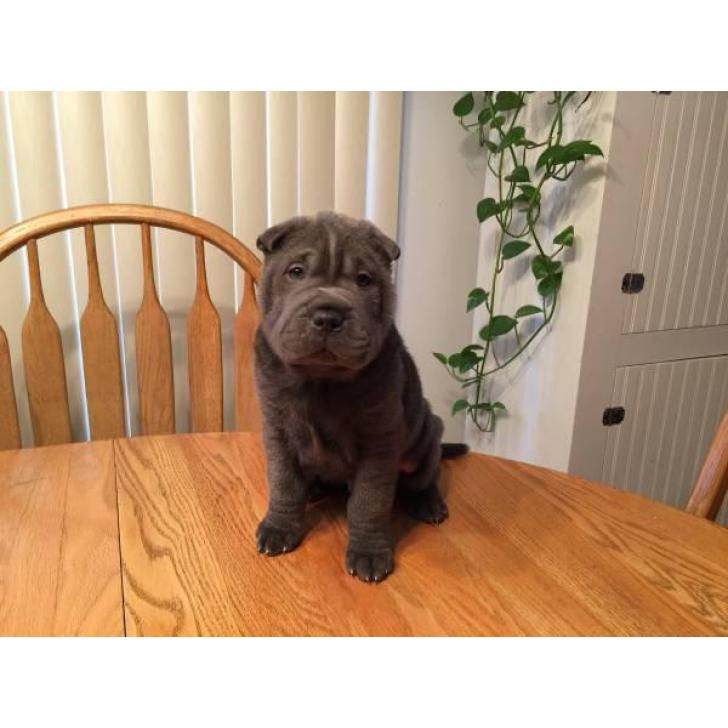 Chinese Shar-Pei Muscatine, I have a litter of Shar Pei Puppies for sale. They're 9 Week Old now and have beautiful blue color and also have a fanta...