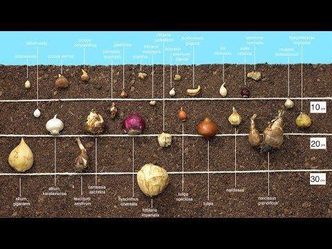 Χρήσιμες συμβουλές για σωστή φύτευση βολβών. Useful tips for planting bulbs correctly.
