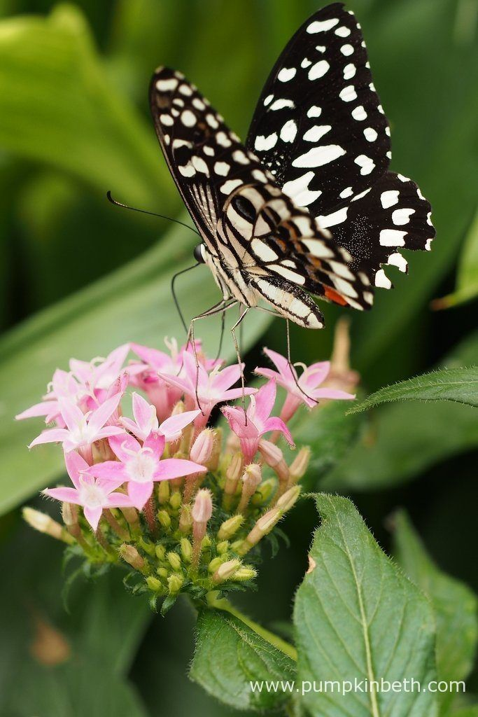 A Chequered Swallowtail butterfly, also known as Papilio demoleus, pictured feasting on Pentas lanceolata flowers, inside the Butterfly Dome, at the RHS Hampton Court Palace Flower Show 2017.