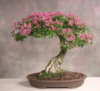 Bonsai Bougainvillea, bonsais florecientes