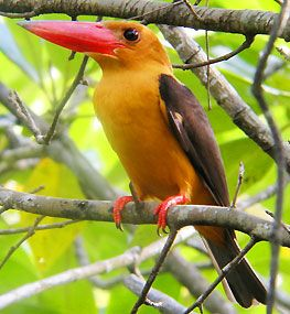 Brown-Winged Kingfisher, found in Bangladesh, India, Malayasia, Myanmar, & Thailand. Natural habitat is subtropical or tropical mangrove forests. The voice of this bird is also quite distinct.