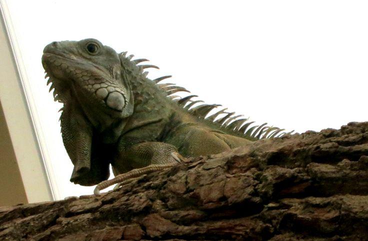 Ik vermoed een groene leguaan maar ik weet het niet zeker. Ook deze foto is genomen in Antwerpen zoo.  I think this is a green iguana but I'm not sure. This picture is also taken in Antwerpen zoo.  Taken with: Canon Powershot S110