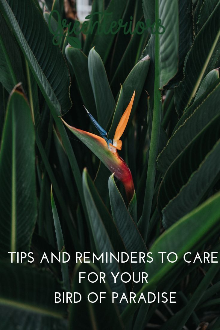 Download The Greenteriors App To Get Reminders And Tips To Care For Your Bird Of Paradise And Indoor Plant Care Birds Of Paradise Plant Growing Plants Indoors