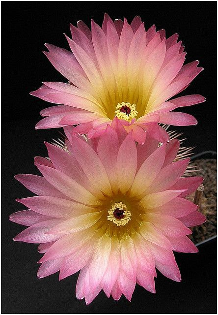 Cacti Flowers.....pink & yellow