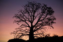WAN-0003393 © WestPix Boab tree at the back of the old Mt Anderson homestead…