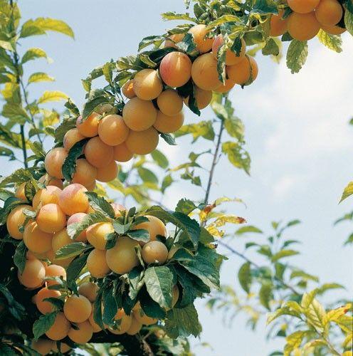 17 meilleures id es propos de arbres nains sur pinterest arbres l 39 arri re cour - Comment avoir des citrons sur un citronnier ...