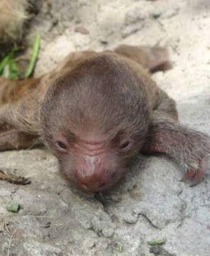 Segundo #perezoso nació en el Parque Histórico de #Guayaquil: http://www.eluniverso.com/noticias/2014/01/11/nota/2009921/segundo-perezoso-nacio-parque  #FaunaSilvestre #Zoo #Oso