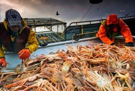 Size sorting legal vs illegal Opilio crab