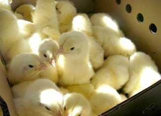 How to Order Baby Chickens from a Poultry Hatchery