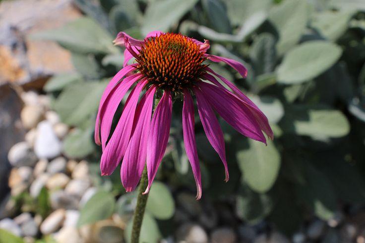 Babí léto u nás patří taky třapatce nachové (echinacea