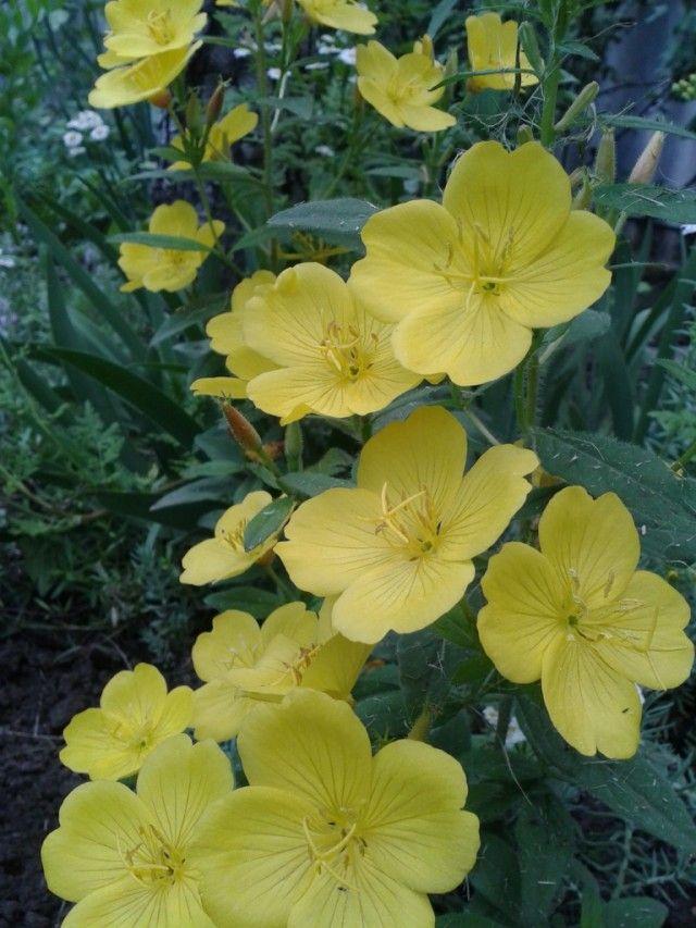 """Энотера – «королева ночи» Энотера или Ослинник – многочисленный род семейства Кипрейные, с шелковыми белыми, розовыми, чаще желтыми и реже голубыми цветками. Раскрываются они ближе к вечеру Всего за несколько секунд куст покрывается яркими цветками, будто горящими в темноте. За эту особенность энотеру часто называют """"ночной свечей"""" или """"королевой ночи""""."""