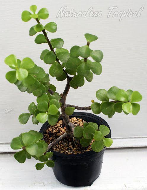 Árbol de la Abundancia (Portulacaria afra) en maceta plástica