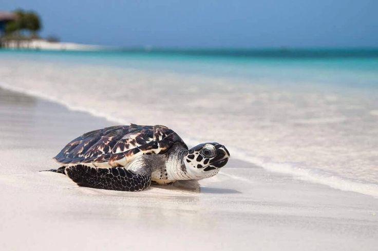 Siempre te decimos que nuestras hermosas playas no son solo lugares para broncearse  y disfrutar. En ellas están presentes muchísimas especies de plantas y animales que muchas veces pasan desapercibidas para ti pero que son muy importantes para que se mantenga el equilibrio ecológico del que depende por ejemplo el pescado que consumes e incluso que la playa se siga viendo así de bonita.  Pero hoy en nuestras playas es mucho más común encontrar un pote de refresco o colillas de cigarro que un…
