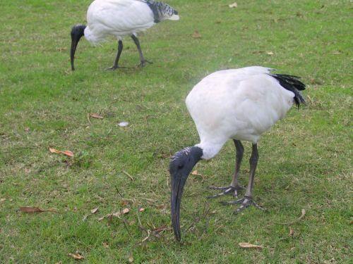 Molukkenibis. Den Molukkenibis findet man in Nordostaustralien, Süd-Neuguinea und Indonesien. Diese Vogelart bevorzugt die Nähe von Gewässern. Der Molukkenibis ist dem Heiligen Ibis vom Aussehen sehr ähnlich. Diese Vogelart erreicht eine Größe von 65 bis 75 cm . Die Flügelspannweite beträgt 112 bis 124 cm. Der Molukkenibis ernährt sich von Reptilien, Fischen, Krebstieren, großen Insekten, Schnecken, kleine Säugetiere und gelegentlich auch Aas.