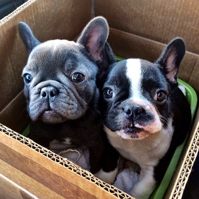 Double Trouble, French Bulldog Puppies.
