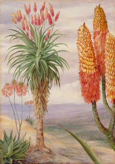 North, Marianne, Aloes at Natal, 1882, Oil