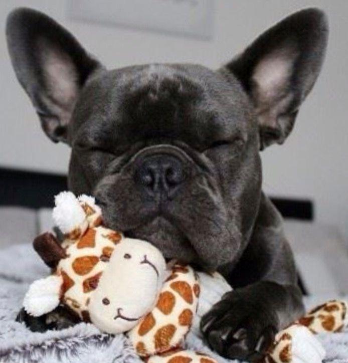 'Just Napping', French Bulldog ❤