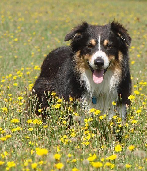 australian shepherd | Australian Shepherd (Australischer Schäferhund) - Haustier & Co ...