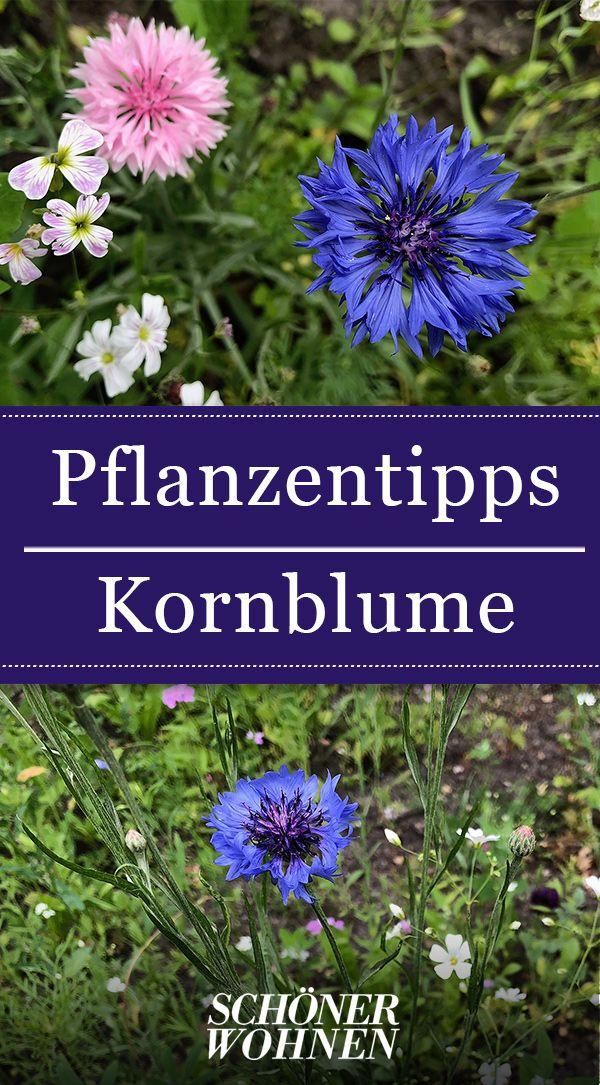 Kornblume Pflanzen Pflegen Vermehren Pflanzen Einjahrige Blumen Kornblume