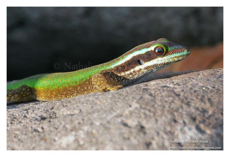 Birdwatching and Photography - Refuge LPO: Le lézard vert de Manapany (Phelsuma inexpectata)