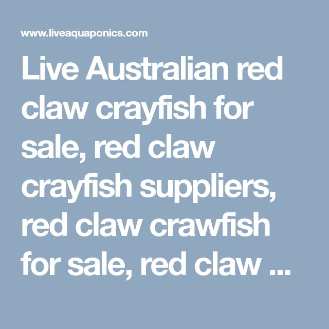 Live Australian red claw crayfish for sale, red claw crayfish suppliers, red claw crawfish for sale, red claw crayfish, australian red claw crayfish