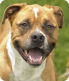 Chicago, IL - Boxer/American Pit Bull Terrier Mix. Meet Roxy, a dog for adoption. http://www.adoptapet.com/pet/12990831-chicago-illinois-boxer-mix