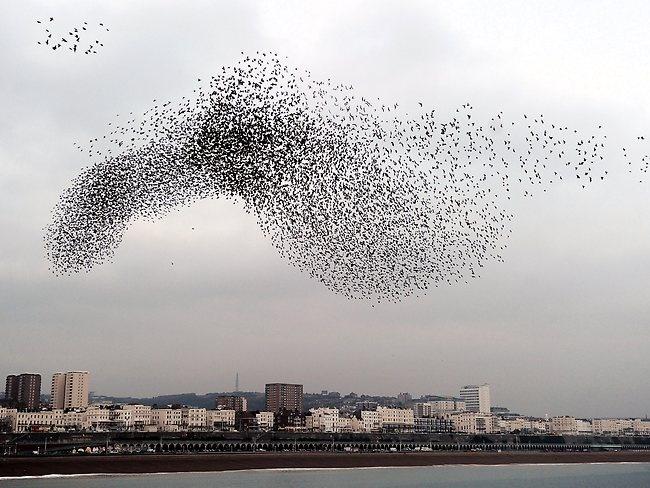 Starling murmuration Brighton Pier, UK