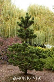 Oregon Green Austrian Pine (Pinus nigra 'Oregon Green') - Monrovia - Oregon Green Austrian Pine (Pinus nigra 'Oregon Green'), 18-20 ft tall, 15 ft wide at maturity, low water needs after established, zone 4-8