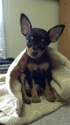 Sydney is an adoptable Chihuahua Dog in Arlington Heights, IL. Sydney is a 'Chi-Pin' - Chihuahua/Miniature Pinscher mix, black and brown short haired like a Min Pin. She has a docked tail and was born...
