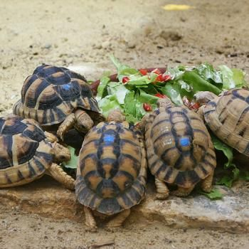 Sulcata aldabra galapagos and other tortoises for sale