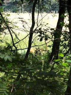 Willemien  een ree langs het Hertogenpad,
