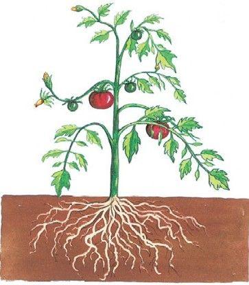 La planta y sus partes Garden
