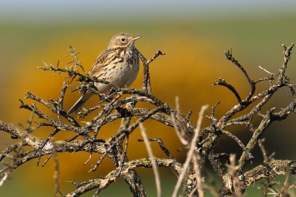 Meadow Pipit on Burnt Gorse by Ken Billington