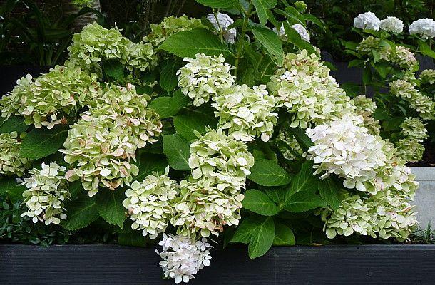 "Beautiful blousey white flowering Hydrangea ""Bridal Bouquet"", with a tinge of green in autumn.  Designed by Rach Matthews, HEDGE Garden Design & Nursery"