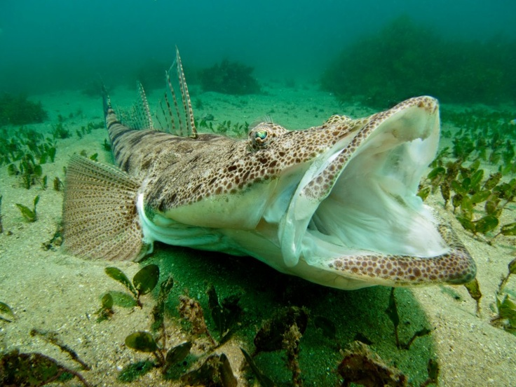 Dusky Flathead (Platycephalus fuscus) yawning at Shelly Beach, Sydney, Australia. It took me 30min waiting for this moment just lying on the seabed in the front of this large Flathead. by Lumir Kalbac