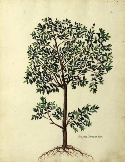 The Olive Tree, by Italian naturalist Ulisse Aldrovandi (1522-1605).