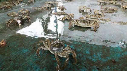 全台灣最大的大閘蟹養殖場,位在台中大甲石頭湖,老闆葉嘉政養殖超過8年,算是當地養殖大閘蟹的元老級人物,在大陸投資蟹苗場,握有上等蟹苗來源,加上經驗豐富,已經成為國內重要的大閘蟹供貨來源,除了供給餐廳、超市等通路,消費者也可以直接上網訂購。不想自己料理的話,鄰近的「北堤九尾雞」和「喜悅海鮮料理棧」都是嚐鮮的好去處,只要前一天預定,就可以吃到當天才抓起的新鮮大閘蟹,除了清蒸之外,還有麻油、辣炒等具有在地風味的料理手法可選擇。搭配大閘蟹,「北堤九尾雞」的雞湯堪稱一絕,以紅棗、九尾草等藥材熬煮超過24小時作為湯底,點餐之後才現煮自家養殖的放山土雞,肉質緊實有彈性,湯頭回甘香醇。「喜悅海鮮料理棧」的招牌則是芋頭米粉鴨湯,選用當地生產的大甲芋頭和紅番鴨,湯濃味美,此外,還有鮮蚵九層蛋、蒜頭飯等料理,古早味十足。(撰文:邱雯敏)哪裡吃:大甲石頭養殖場宅配訂購 http://www.kileshop.net/order.php北堤九尾雞 地址:台中市大甲區北堤西路上 電話:04-2681-8845喜悅海鮮料理棧 地址:苗栗縣苑裡鎮山柑里9鄰93號 電話:037-745500