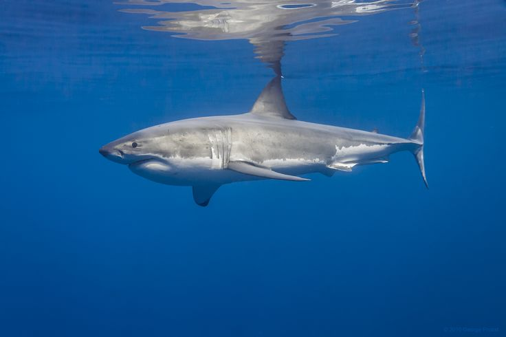 Male Great White Shark Profile