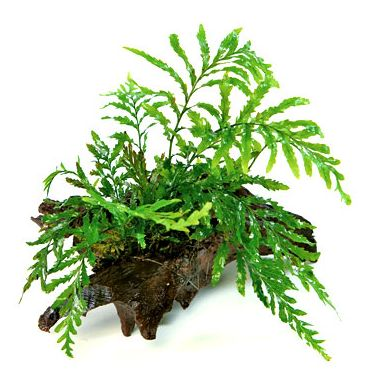 Bolbitis on small driftwood african water fern easy for Easy aquatic plants